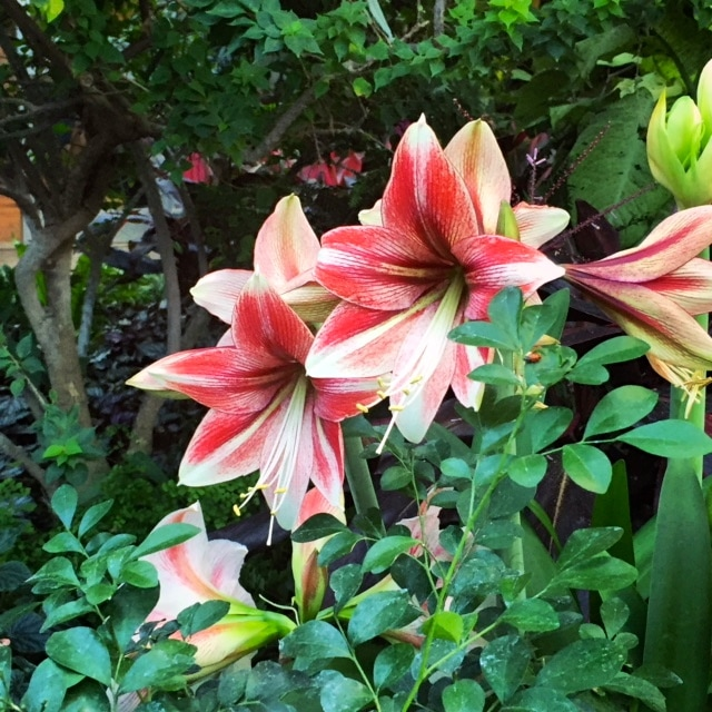 red and white lilies